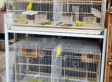 8pieces breeding budgies Free Large Cage