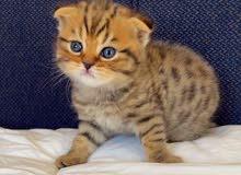 للبيع قطط سكوتش فولد وستريت