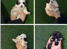 Shitzu puppys