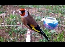 مطلوب طيور حساسين