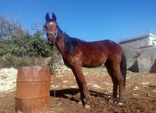 حصان العمر ثلاث سنوات