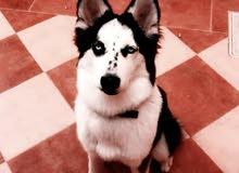 كلب هاسكي العمر 8اشهر ونص