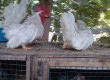 دجاج كينى للبيع