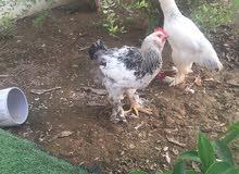 دجاج مهجن بين فرنسي ملثم مع كوشن العملاق