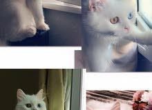 قط للبيع (ذكر) cat for sale(male)