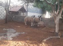 تانين خروف وطني البيع