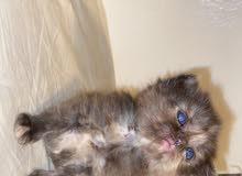 قطط شيرازي شانسيلا ذا العيون الزرقاء