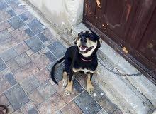 كلبة روت وهاسكي للبيع