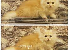 قطة انثى صغيرة