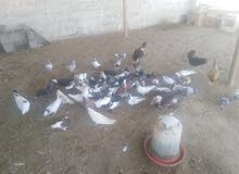 للبيع او للبدل باي طيور زين   حمام مكس تقريبن 46 المكان المصنعهلتواصل ..93329545