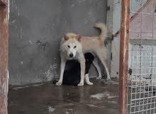 كلب الاكيتا اليابانيه نثيه عمر سنه وثلاث أشهر للبيع شرط التبزير