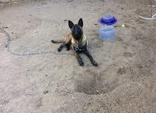 كلاب لبيع مالينوا العمر 9اشهرا