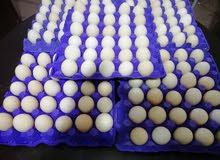 بيض فيومي عالي التخصيب البزرة الاصلية