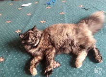 قطه أنثى  شيرازيه للبيع  العمر 2 اشهر او اقل
