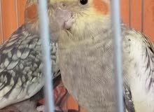 عصافير كوكتيل ايزابيل للبيع