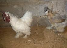 كوبية دجاج
