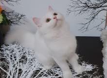 1.female persian turkish angorah cat