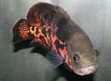 مطلوب سمكة اوسكر