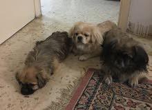 كلاب بيكنيز للبيع 0795703016