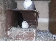 جوز حمام شخاشله بصلاة على النبي تحتيهم بيض
