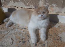 قطه انثي فارسيه للبيع ومعها كتيب تطعيمات