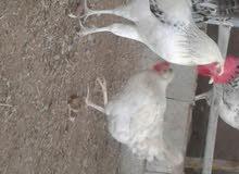 بيع بيض دجاج فرنسي بيور 100% كلومبي مخصب