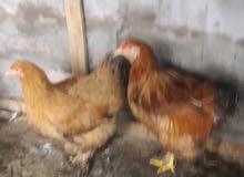 دجاج برهامه