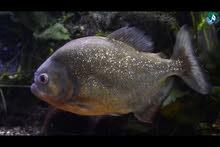 سمكة البيرانا المفترسة
