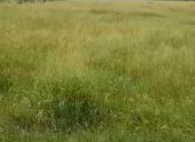 رودس حشيش اخضر
