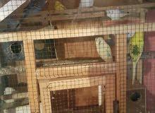 طيور حب للبيع العدد 14 طير
