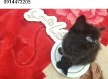 قطوس فارسي اسود