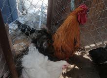 ديج ودجاجه برهما