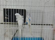 طيور حب هاجرمو الفحل فول وردات والنثيه ورده يردن يبيضن هنه والقفص وبيت التكاثر ا