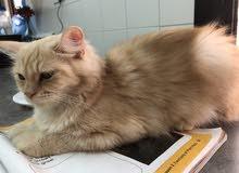 persian brown cat (female)