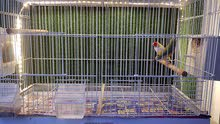gouldian finch breeder pair with cage and accessories