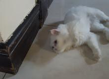 عرض قطة للتبني