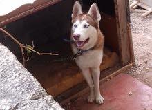 كلب هاسكي شوكلت العمر سنه للبيع الكلب نضيف ولعوب وضخم