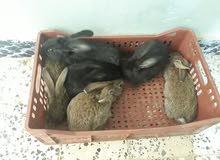 انتاج ارانب تلاته ارباع جامبو