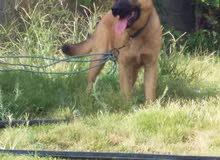 كلب ولف للبيع .