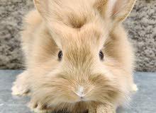 ارانب ليون فيس rabbits lionface