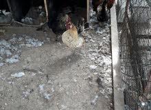 دجاج حبحب كويتي