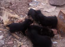 كلاب جيرمن