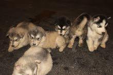 كلاب اللاسكى مالموت للبيع