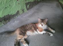 قطه شيرازي العمر سنه وا نصف