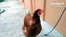 مطلوب دجاج مزارع  للبيع
