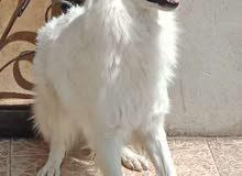 جراوي وايت جيرمن white German Shepherd puppy