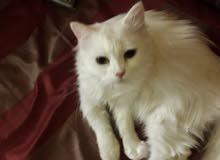 قطة شيرازي بيضاء حامل