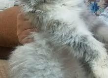 قطه انث. عمر سنه تقريبا