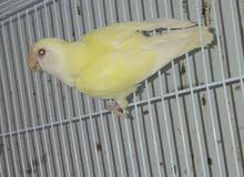 أنثى روز لون الليموني منتجه مطلوب 20ريال أو للبدل بذكر روز 93999597