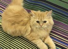 قطة شيرازي هاف بيكي للبيع نظيفة جدا متعودة على الليتر بوكس لعوبة جدا عمرها 3 شهور .